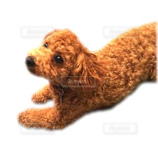 カメラを見て犬の写真・画像素材[766289]