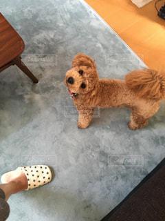 テーブルの上に横たわる大きな茶色の犬の写真・画像素材[768126]