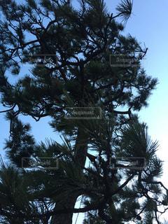 松の写真・画像素材[365844]