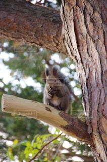 木の枝にリスの写真・画像素材[1030494]