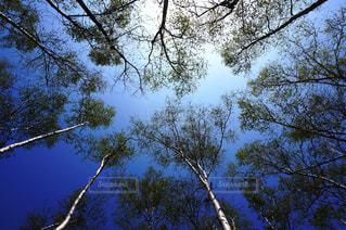 白樺の木の写真・画像素材[1443711]