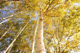 秋色の白樺の写真・画像素材[1443713]