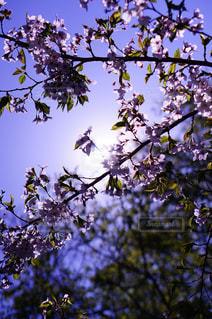桜の写真・画像素材[1630104]