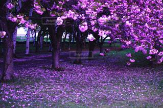 大きな紫色の花は、庭の写真・画像素材[1630115]