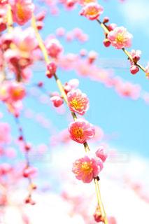 梅の花の写真・画像素材[1043562]