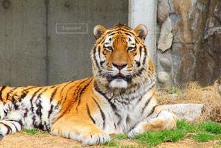 虎の写真・画像素材[1043565]