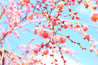 梅の花の写真・画像素材[1043572]