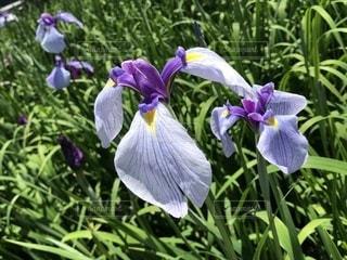 植物の紫色の花の写真・画像素材[1779286]