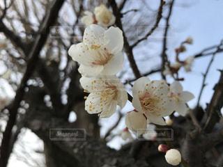 白い花をつける木の写真・画像素材[1779291]