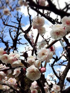 花,梅,綺麗,花見