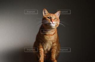 猫の写真・画像素材[367506]
