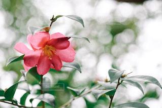 自然,花,春,緑,植物,赤,椿,ツバキ,つばき
