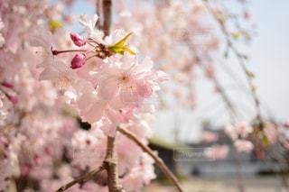 京都の東寺で撮影しました。の写真・画像素材[397063]