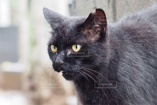 猫の写真・画像素材[703688]