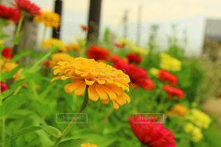 花畑の写真・画像素材[963293]