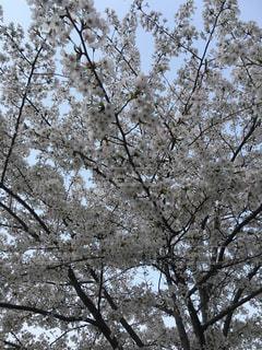 桜の木の写真・画像素材[1092074]