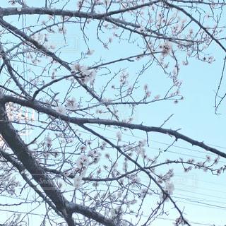 桜の写真・画像素材[2952439]