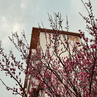 梅と団地の写真・画像素材[4218180]