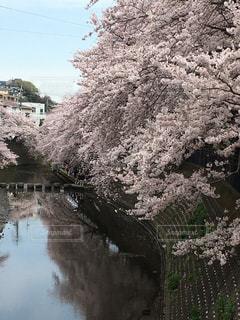 桜の写真・画像素材[373709]