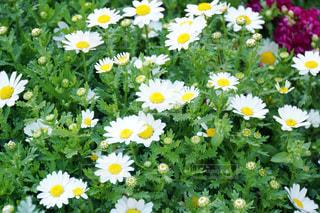 たくさんある白い花の写真・画像素材[1220474]