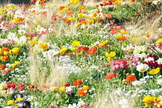 カラフルな花畑の写真・画像素材[1220476]