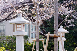 桜と灯ろうの写真・画像素材[1220477]