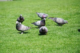 緑豊かな芝生に立っているハトたちの写真・画像素材[1220479]