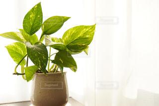 窓際の観葉植物ポトスの写真・画像素材[1764353]
