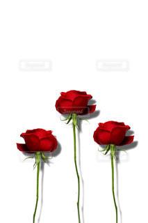 3本の赤い薔薇の花の写真・画像素材[1826788]