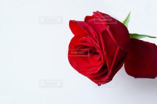 赤い薔薇の花の写真・画像素材[1826791]