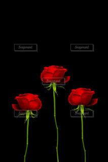 3つの赤いバラの花の写真・画像素材[1826794]