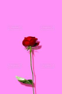 赤い薔薇の花 ピンク背景の写真・画像素材[1826795]