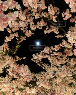 桜の写真・画像素材[371661]