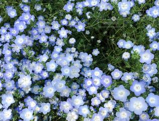 青いネモフィラの写真・画像素材[2158311]