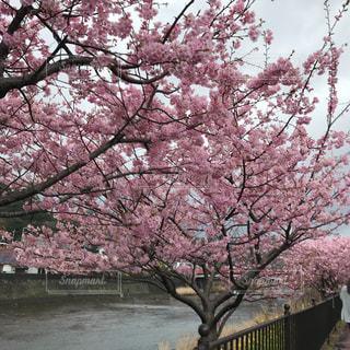 桜の写真・画像素材[371918]