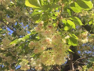 桜 - No.446144