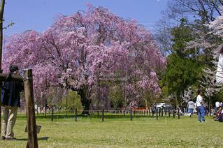 春 枝垂れ桜の写真・画像素材[382828]