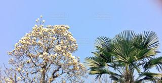 桜の写真・画像素材[373216]