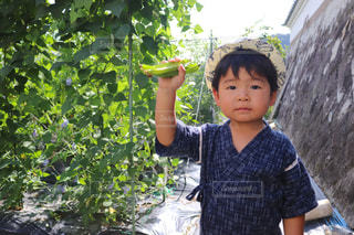 夏休みの野菜の収穫の写真・画像素材[1356547]