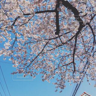 桜の写真・画像素材[374470]