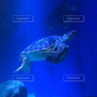 水族館の海亀の写真・画像素材[1010704]