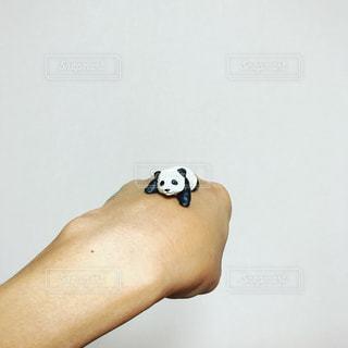 手乗りパンダの写真・画像素材[1583742]