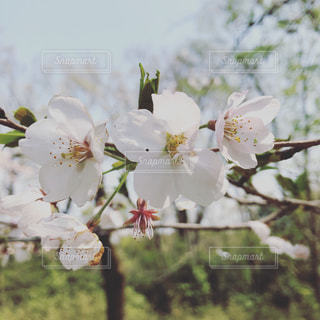満開の桜の写真・画像素材[1991067]