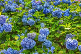 紫陽花の写真・画像素材[2330560]