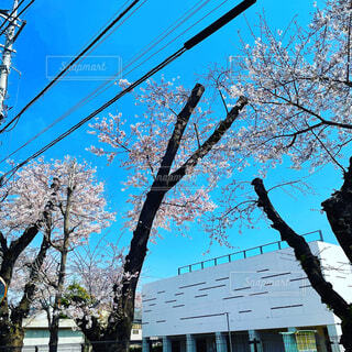 満開の桜の写真・画像素材[4283427]