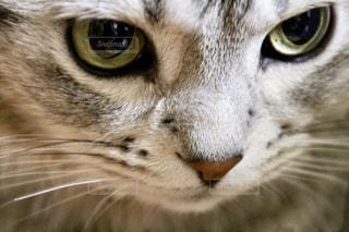 猫,瞳,アメリカンショートヘア,アメショ,猫の目