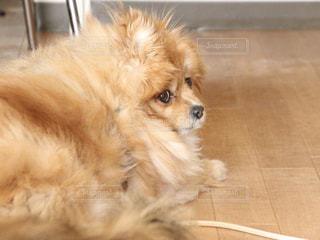 床の上に横たわる大きな茶色の犬の写真・画像素材[1175415]