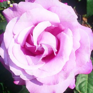 花の写真・画像素材[592599]