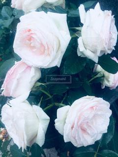 近くの花のアップの写真・画像素材[1145352]
