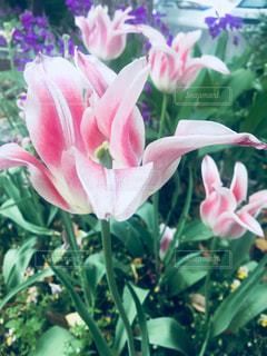 近くの花のアップの写真・画像素材[1145353]